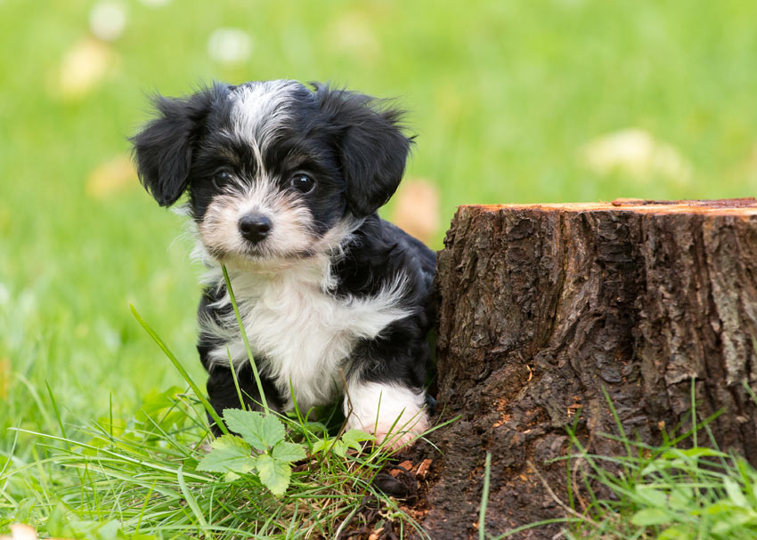 A beautiful little Havanese puppy with a well maintained coat
