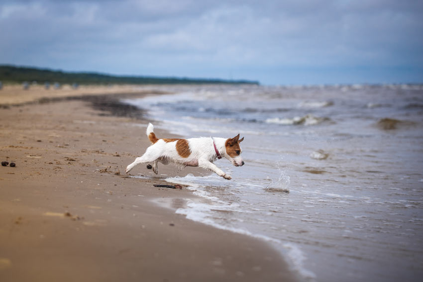 A beautiful little Jack Russell Terrier bounding across the sand into the sea