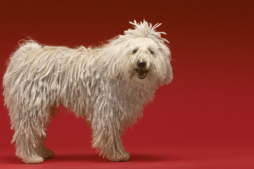 A beautiful white coated Komondor