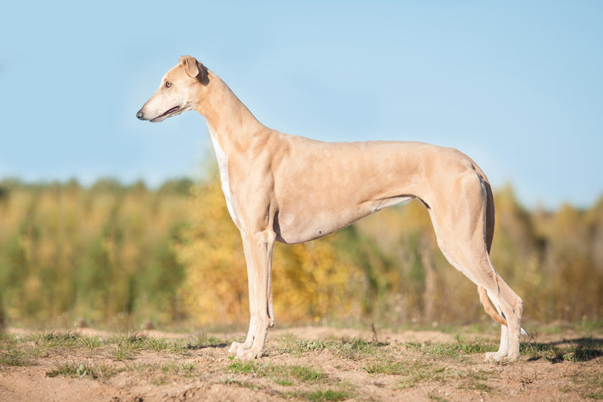 A beautiful young Greyhound with an incredible smooth coat