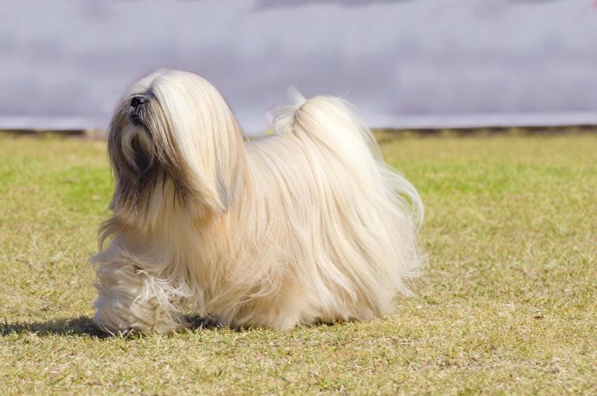 Ein wunderschön gepflegter Lhasa Apso mit fabelhaftem weißen Fell
