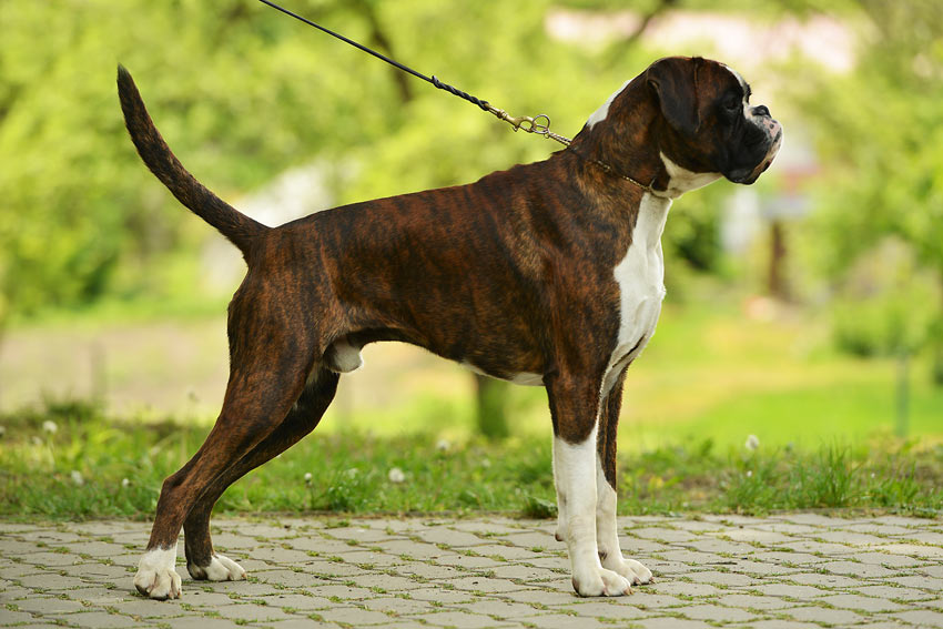 A big strong Boxer Dog walking on the lead with his owner
