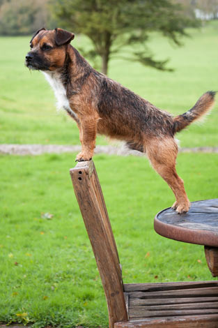 A border terrier with a wiry coat
