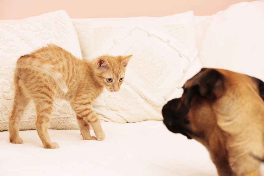 A cat deliberately avoiding a strange dog