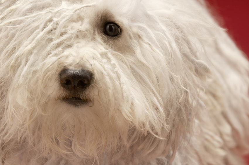 A close up of a Komondor with a white corded coat