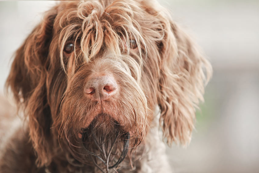 A close up of a Wire Haired Pointing Griffon's scruffy beard and fringe