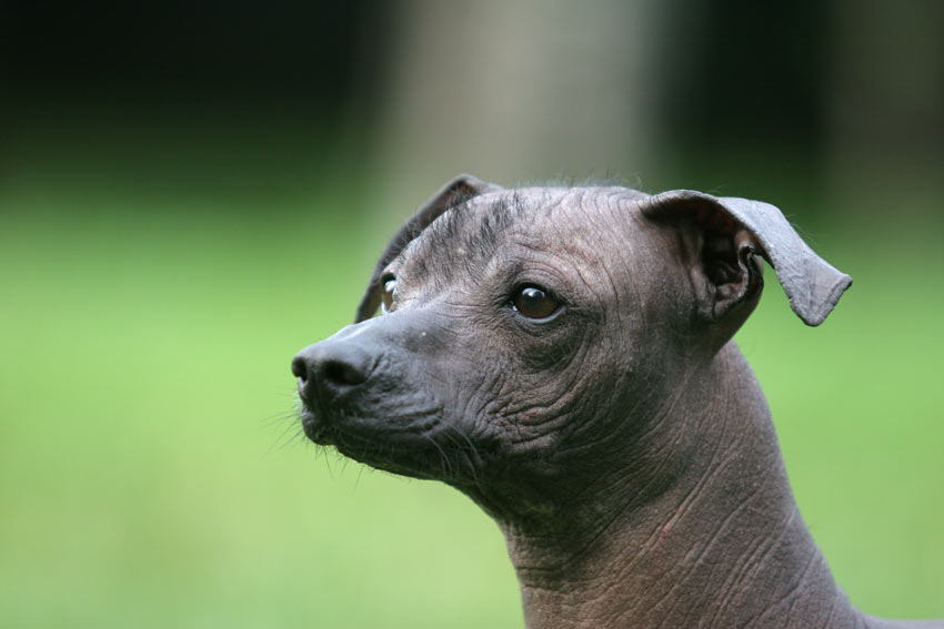 A close up of a beautiful Mexican Hairless dog