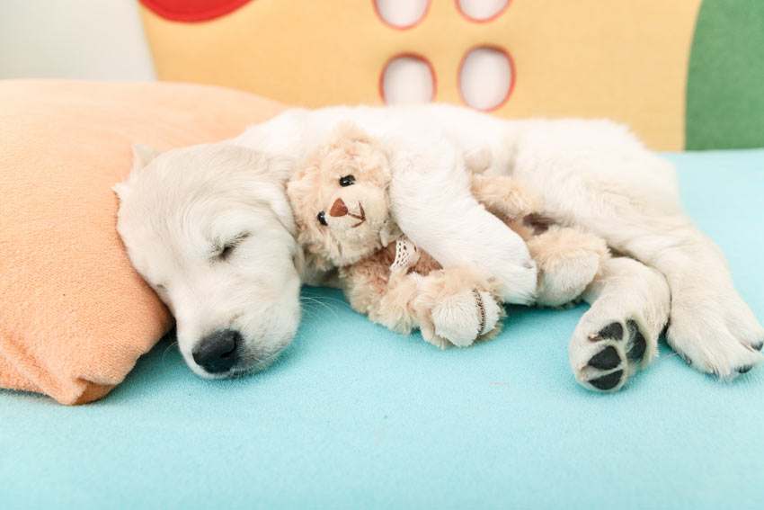 A cute young Labrador puppy sleeping with a toy puppy