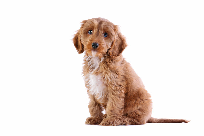A cute youngcrossbreedCockapoo