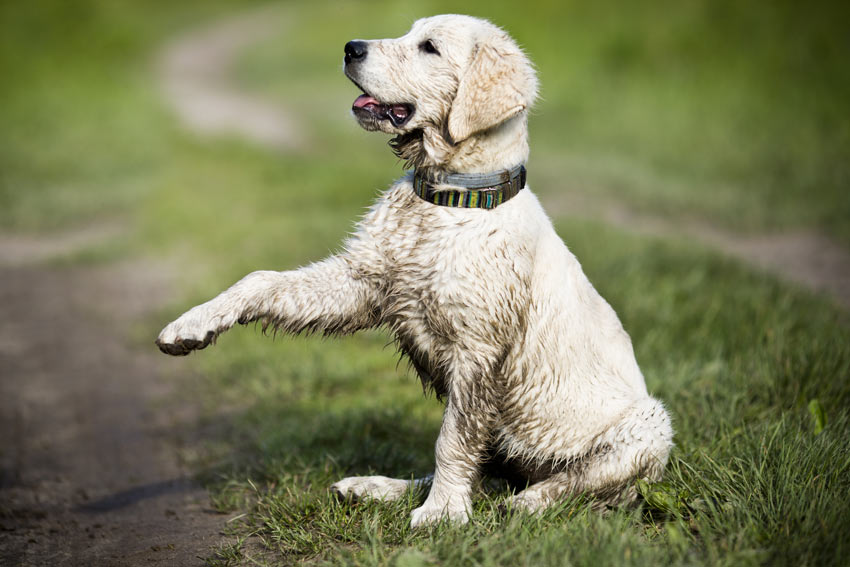 A dirty little Golden Retriever puppy coming back from a muddy walk