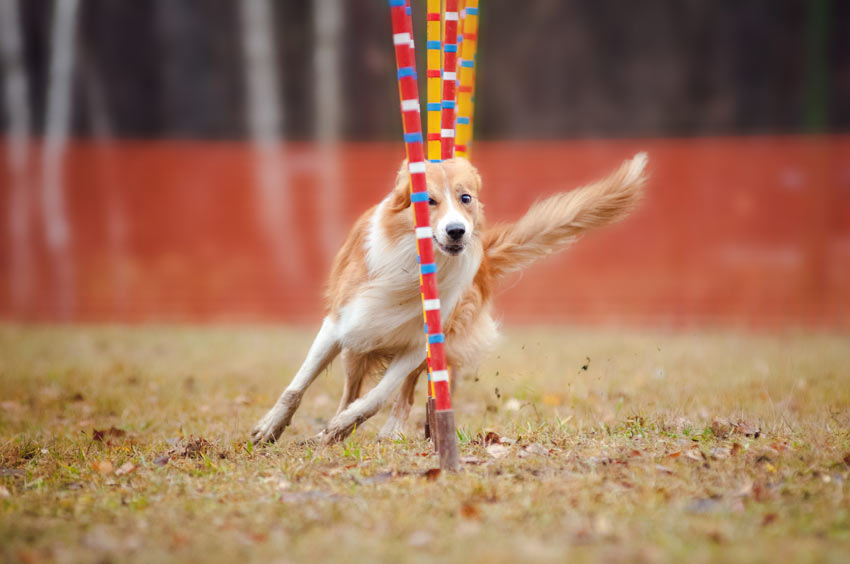 A dog doing an agility course at lightening speed