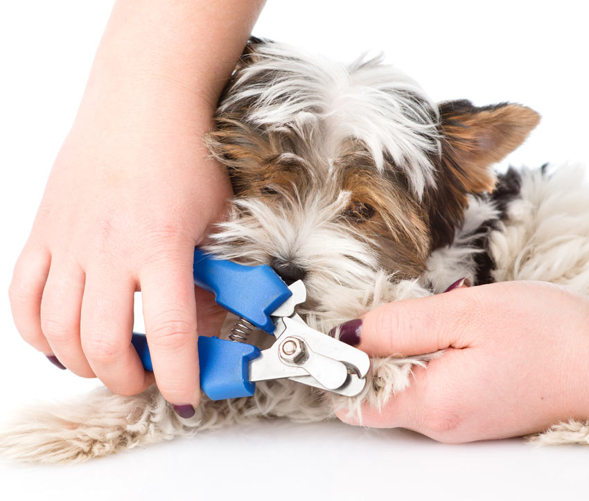 A dog getting its nails trimmed with a nail clipper