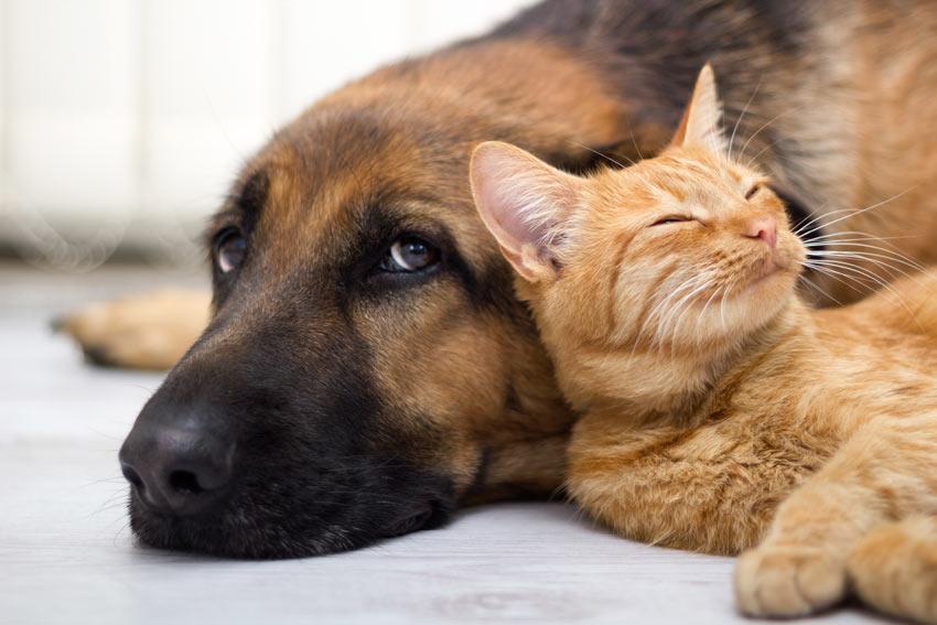 Een hond ligt naast zijn roodharige kattenvriend