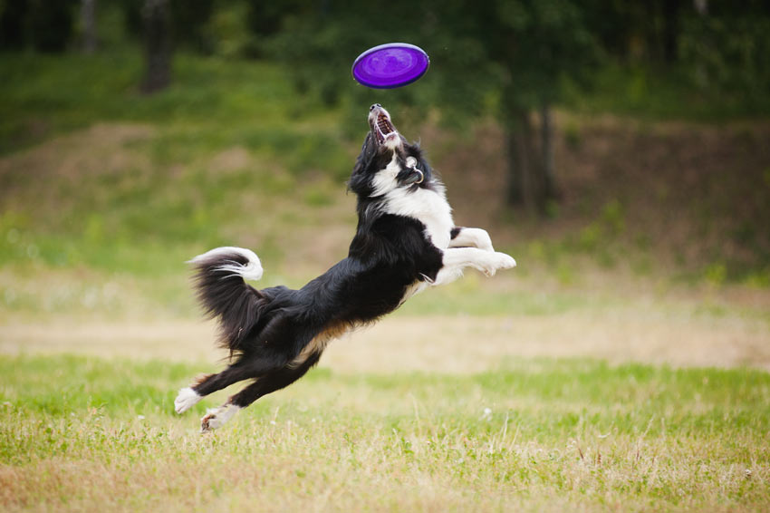 A fit and healthy Collie jumping for a frisbee