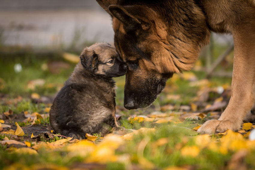 A gentle German Shepherd with its adorable little puppy
