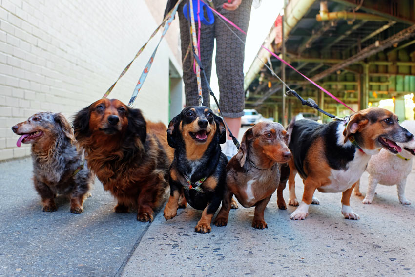 A group of Dachshunds being walked by a dog walker