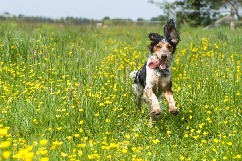 A happy Spaniel full of energy on a long walk