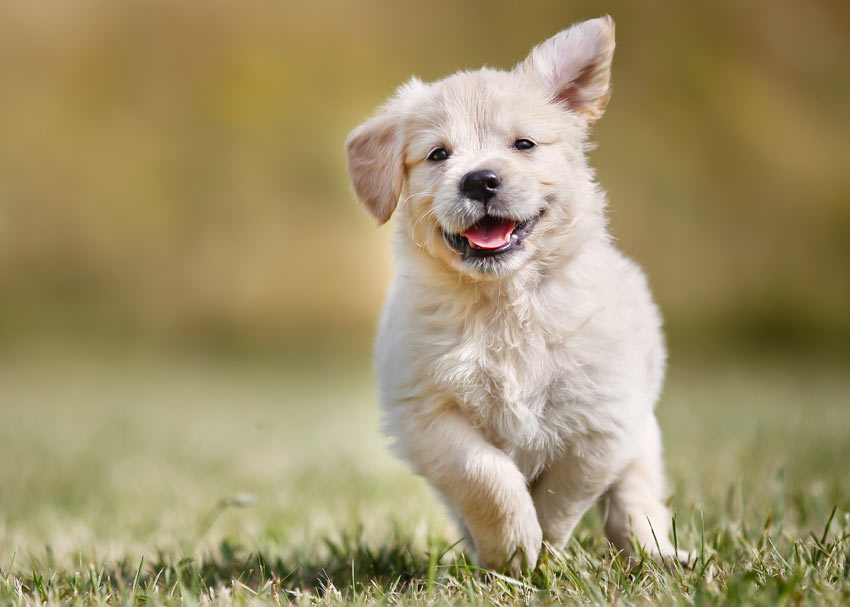 A happy little puppy enjoying some exercise outside