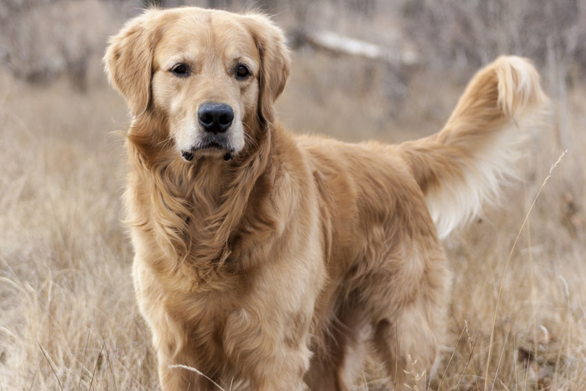 A healthy adult Golden Retriever