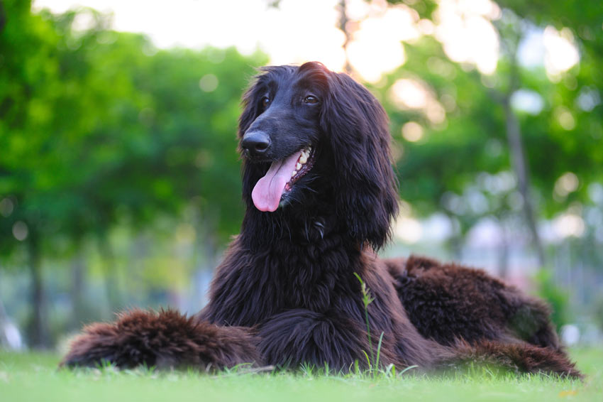 A healthy and happy Afghan Hound lying down on the grass