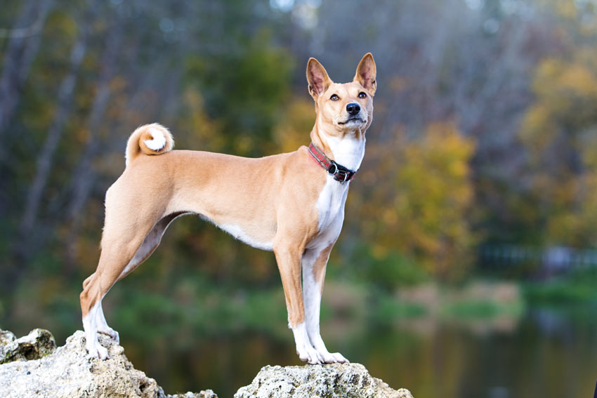 A healthy young Basenji with a beautiful hypoallergenic coat