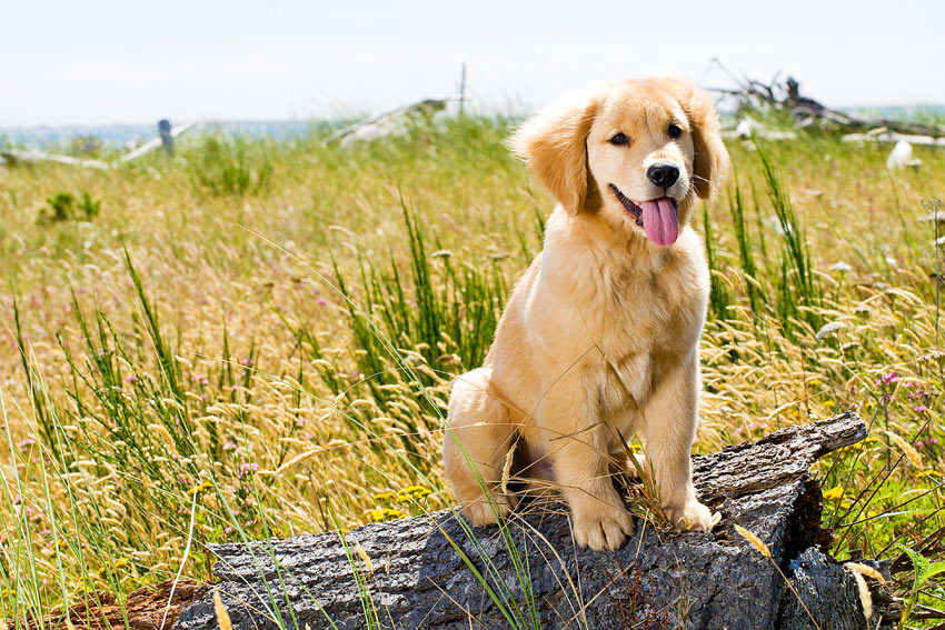 A healthy young Golden Retriever puppy sitting on a log outside
