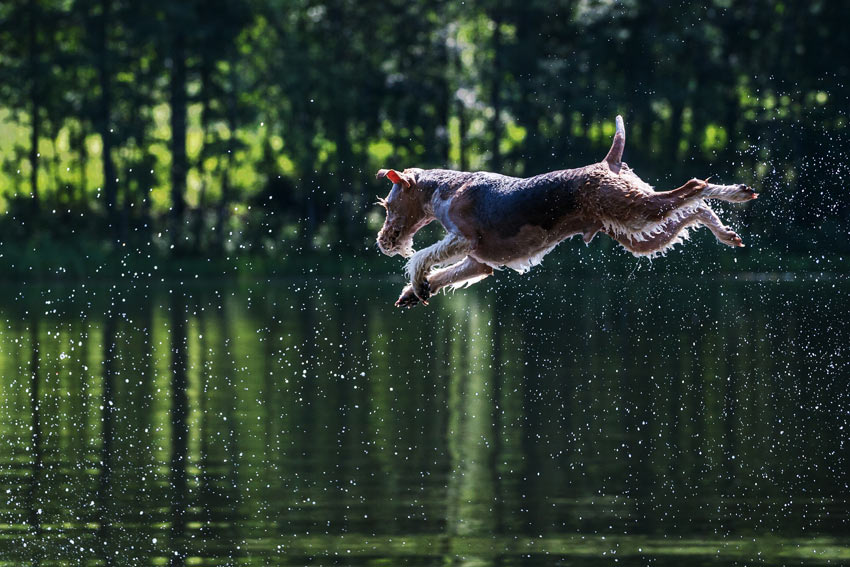 A hot dog cooling down by jumping into a nice cold lake