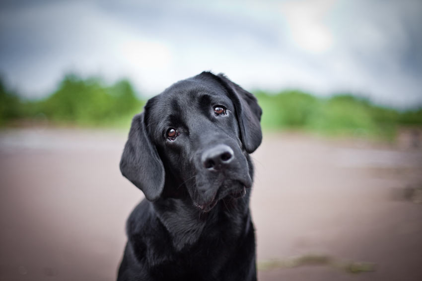 A lovely black coated Labrador Retriever looking sad