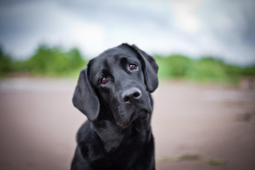 A lovely black coated Labrador Retriever looking sad