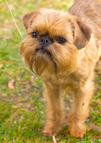 A lovely little Brussels Griffon with a hypoallergenic coat