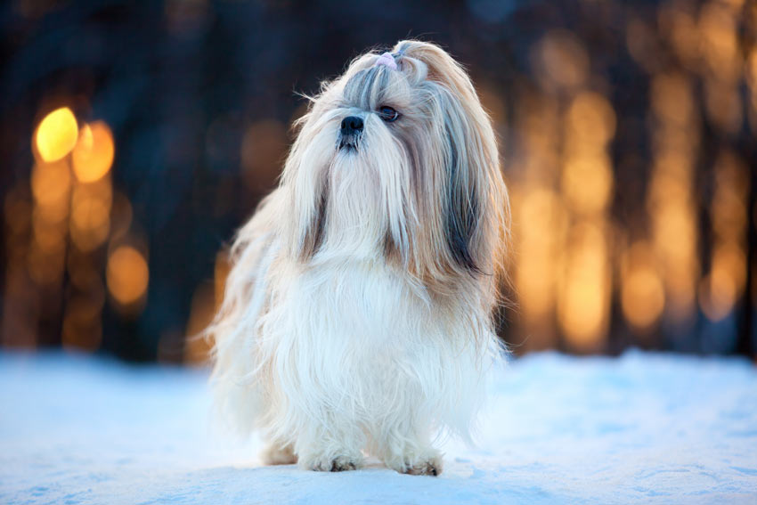 A lovely little Shih Tzu with a wonderful Long Coat