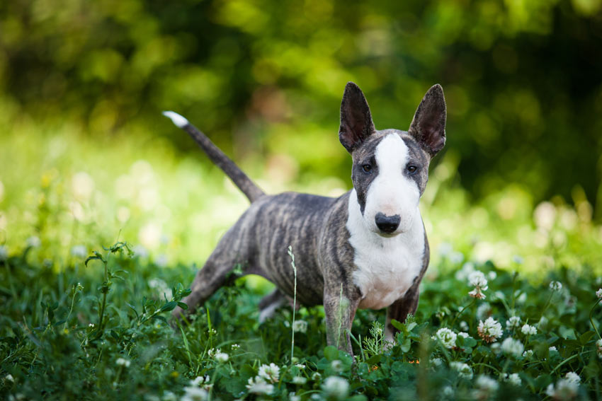 A lovely young Bull Terrier with a short hypoallergenic coat