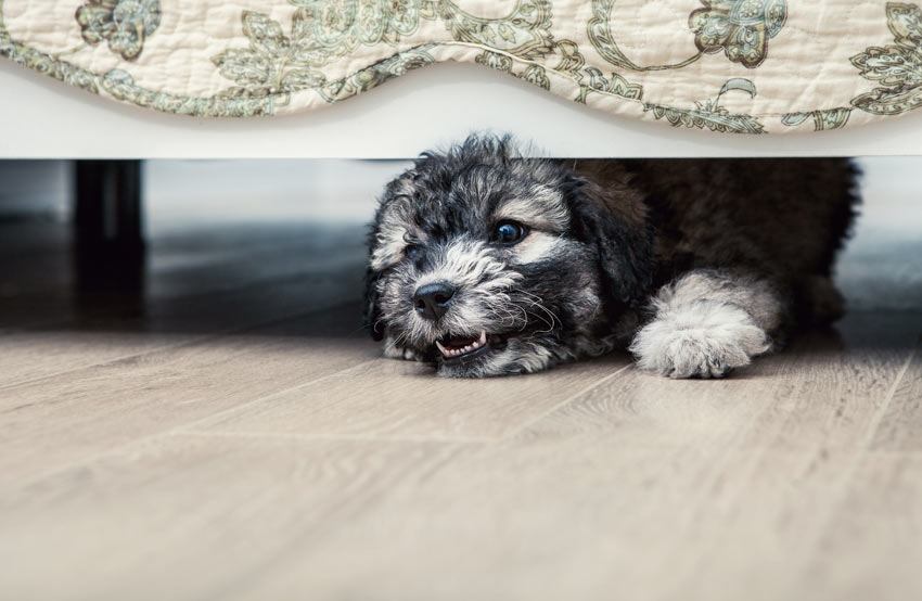 A lovely young dog playing inside growling under the bed