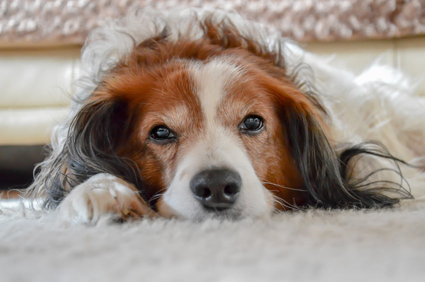 A lovely young spaniel resting its head on the carpet