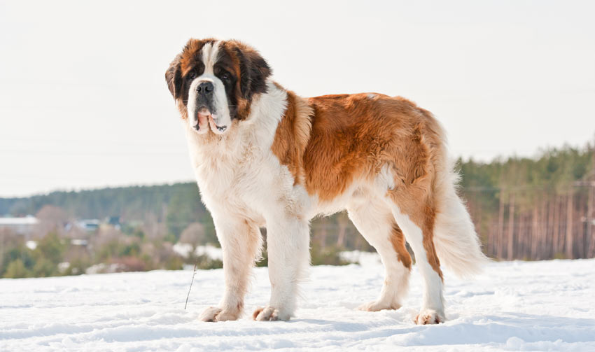 A massive Saint Bernard with a beautiful thick coat