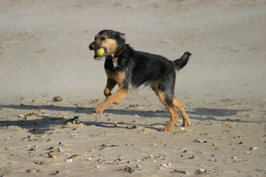 A mongrel dog running on the beach