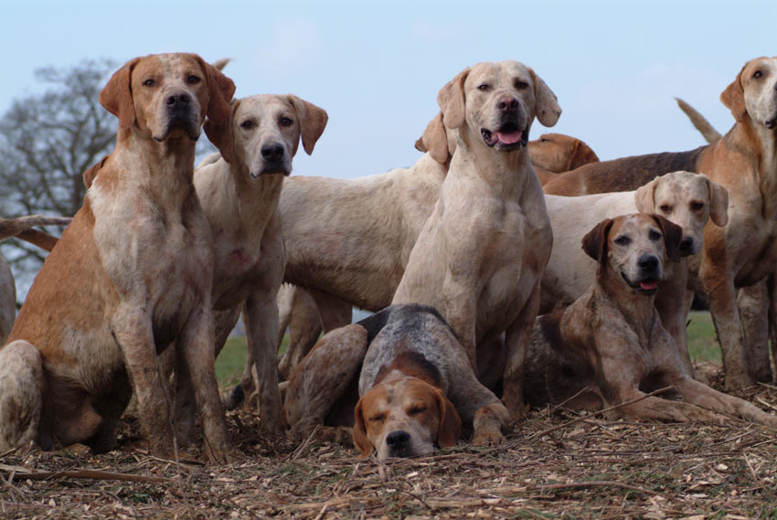 A pack of English Foxhounds with beautiful short smooth coats