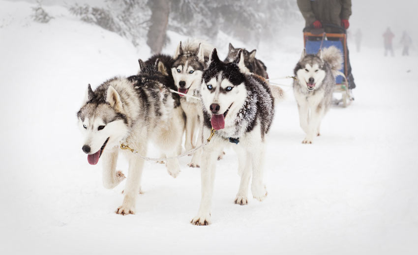 A pack of Siberian Huskies bred to naturally pull