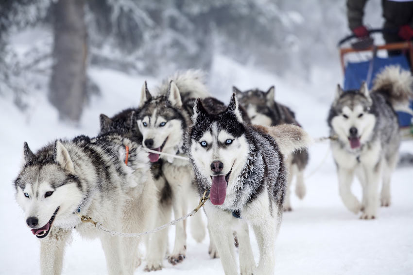 A pack of Siberian Huskies pulling a sled