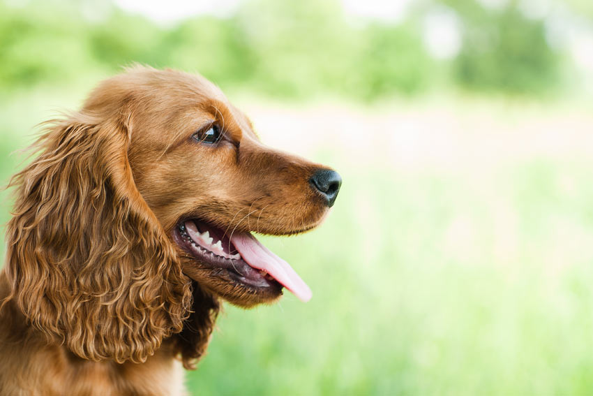 A portrait of a beautiful brown coated Cocker Spaniel