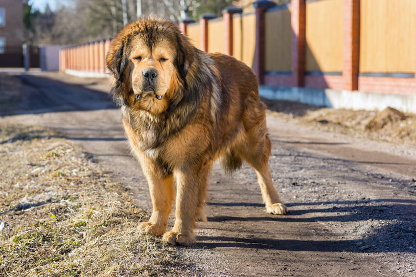 A tall and muscular Tibetan Mastiff Guard Dog