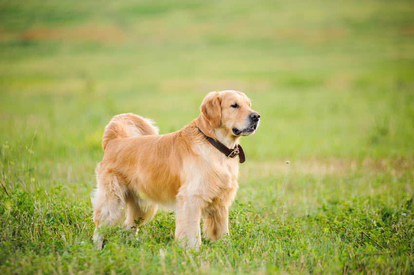 A very healthy and happy Golden Retriever