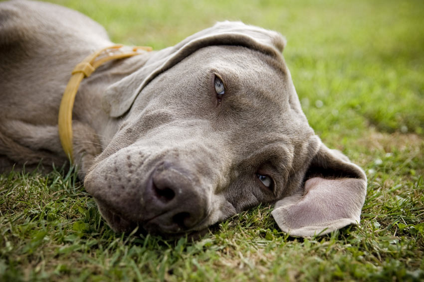 A very tired Weimaraner resting his head on the grass