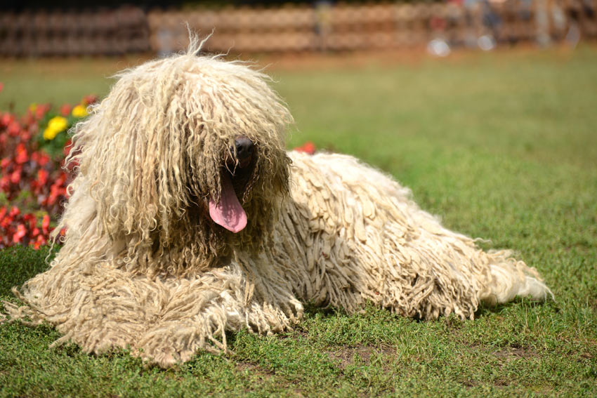 A white curly coated Komondor lying down outside