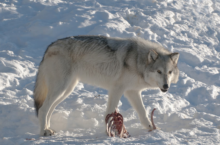 A white wolf with an animal carcass