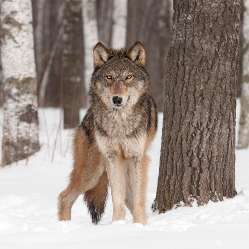 Een wilde wolf