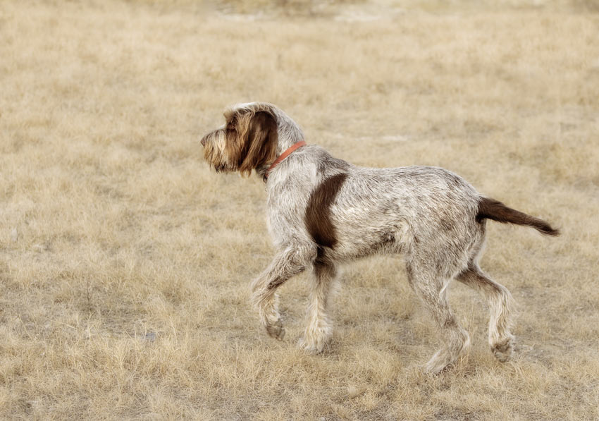 A wire coated Pointer Griffon