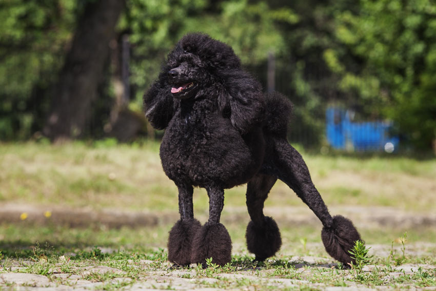 A wonderful black coated Poodle perfect for those with allergies