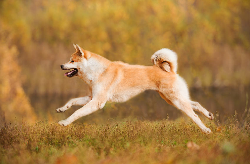 A wonderful pedigree Finnish Spitz running at full pace