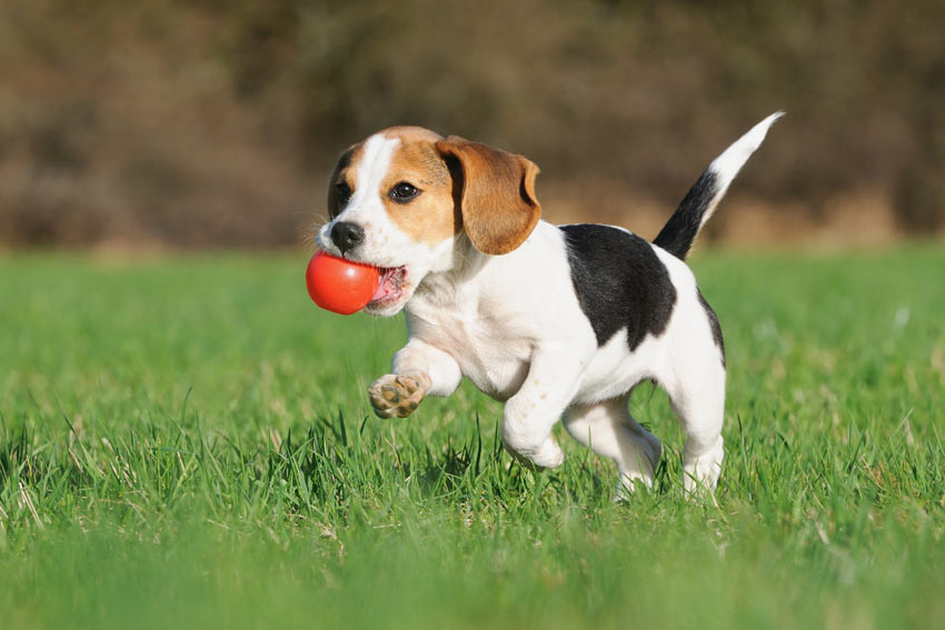 A young Beagle puppy playing with a ball